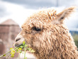Typical peruvian llama eating in Cusco