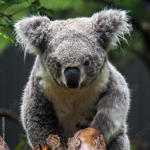 Garden Poster Koala Koala looking towards camera