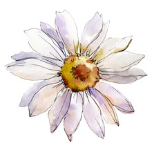 Daisy Flower. Isolated Daisy I...