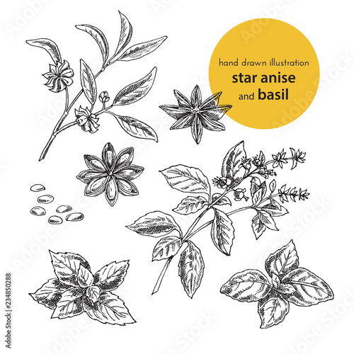 Fototapeta hand drawn vector illustration of herbs and spices. Vintage graphic set illustration of anise and  basil. set of fruits and herbs spices obraz