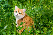 Cat In Green Grass And Flowers, Beautiful Red British Cat With Green Eyes Sitting In The Thick Grass Among The Small Flowers And Looking At The Camera.