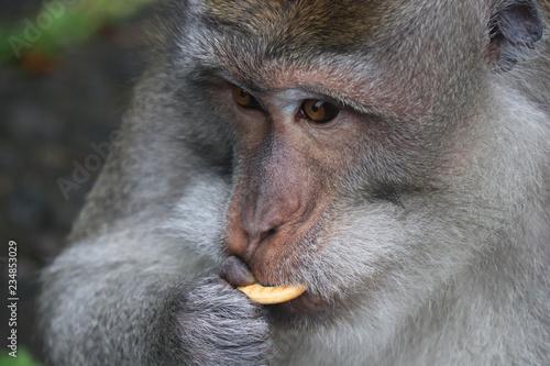 cute ape monkey primate with cookie snack Wallpaper Mural