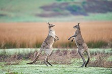 Eastern Gray Kangaroo (Macropus Giganteus), Males Fighting On A Meadow, Great Otway National Park, Victoria, Australia, Oceania