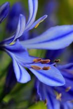 Schmucklilien (Agapanthus) Blüten