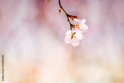 Branches of a flowering almond tree in the gentle sunlight of a spring garden. Delicate flowers and bees collecting nectar.