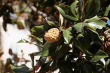 Fruit Of A Southern Magnolia (Magnolia Grandiflora)