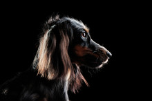Low Key Head Portrait Of A Long Haired Dachshund Dog