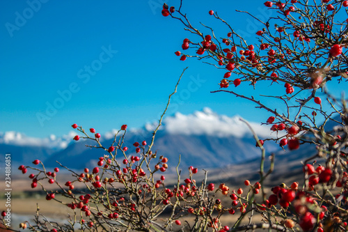 Photo  rose hip plant in front of blurred mountain background, Ashburton Lakes District