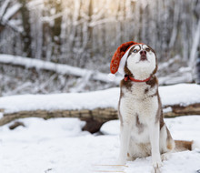 Portrait Of Siberian Husky Dog Wearing Santa Hat In The Winter Forest. Brown And White Siberian Husky Breed Dog With Brown Blue Eyes Sitting In A Red Hat. Selective Focus