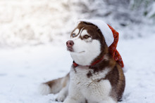 Portrait Of Siberian Husky Dog Wearing Santa Hat In The Winter Forest. Brown Siberian Husky Breed Dog With Brown Blue Eyes Sitting In A Red Hat. Selective Focus