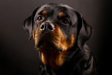 Beautiful Dog Rottweiler On A ...