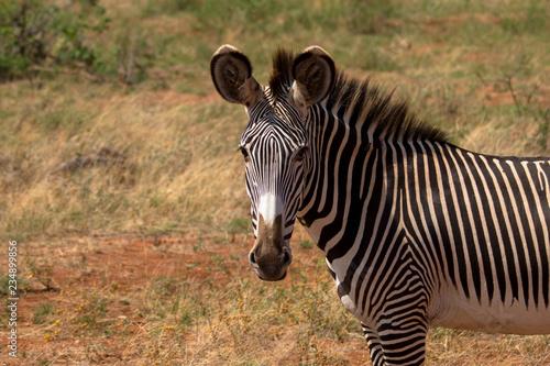 Grevyzebra im Samburu Nationalpark Kenia