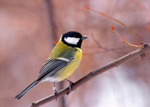 Single Great Tit Bird On A Tree Branch During A Spring Nesting Period