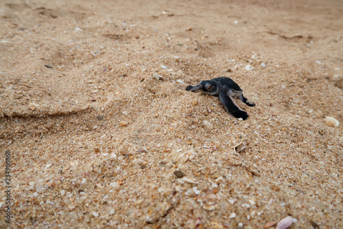 Valokuvatapetti Newborn baby sea turtle on a beach in Sri Lanka