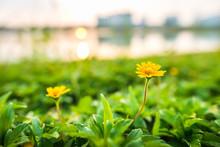 Yellow Grass Flower In Garden