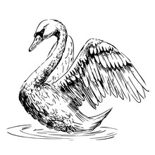 Sketch Of Swan. Hand Drawn Illustration Converted To Vector