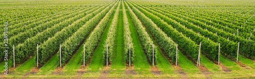 Fotografia Agriculture. Rows of apple trees grow.