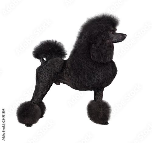 Tableau sur Toile Standard black poodle