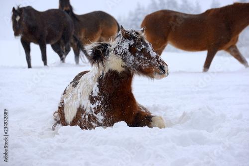 Fotografie, Obraz  Schneepony. Süßes geschecktes Pony wälzt sich im Schnee