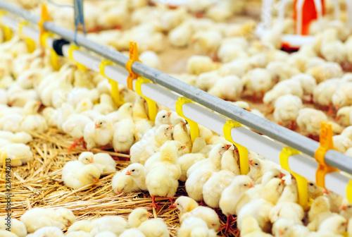 Indoors chicken farm, chicken feeding Wallpaper Mural