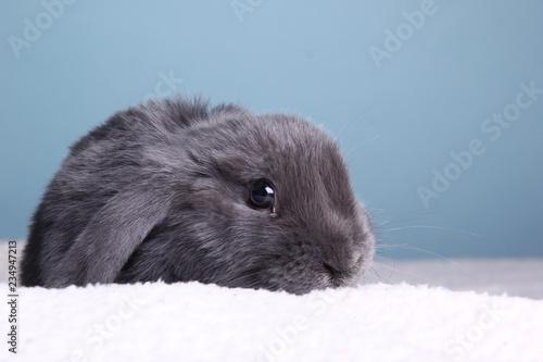 Zdjęcie XXL Mały królik przed kolorowym tłem