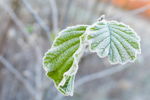 First Frost And Leaf
