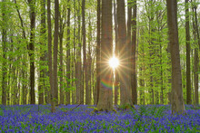 Belgium, Flemish Brabant, Halle, Hallerbos, Bluebell Flowers, Hyacinthoides Non-scripta, Beech Forest In Early Spring