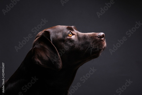 Fotografía Brown labrador dog in front of a colored background