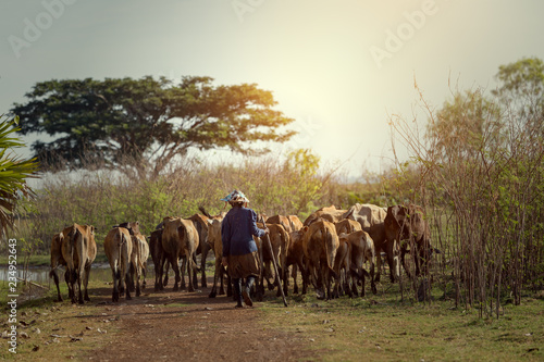 Foto auf Leinwand Dunkelbraun Backside livestock or farmer and cow this is lifestyle of people at Nong Han Lakeside Sakon Nakhon Province Thailand.