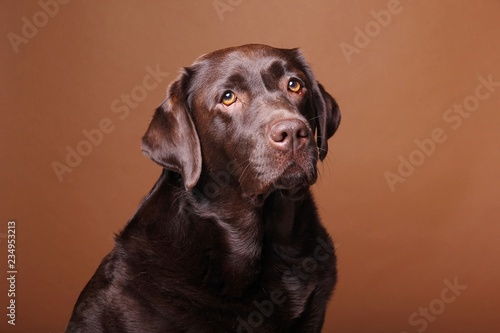 Cuadros en Lienzo Brown labrador dog in front of a colored background