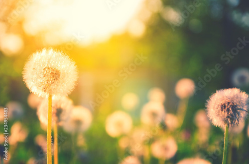 Spring nature scene.Springtime.Fluffy dandelions growing in spring garden illuminated by the warm golden light of setting sun on a soft blurred background.