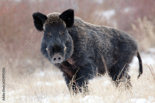 Canvas Print Boar