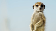 Meerkat On Guard // Alert Suricate Or Meerkat (Suricata Suricatta) On The Lookout, Kalahari, 2018