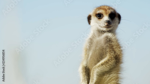 Fototapeta meerkat on guard // Alert suricate or meerkat (Suricata suricatta) on the lookou