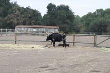 Black Longhorn Cattle On Farm
