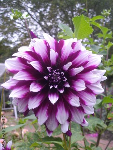 Große weiß-violette Cactus Dahlie, Blüte