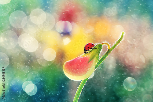 A small red ladybug rests on a pea fragrant.