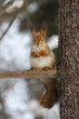 Wild red fluffy squirrel in the village of natural habitat