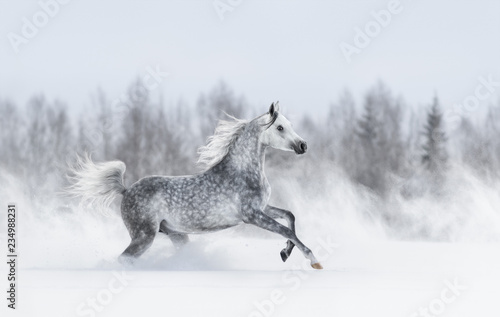 purebred-grey-arabian-horse-galloping-during-blizzard