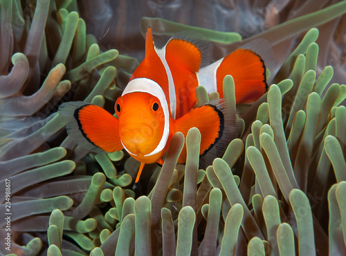 Fotografie, Tablou  Bright clownfish in anemone