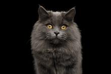 Portrait Of Adorable Gray Cat ...