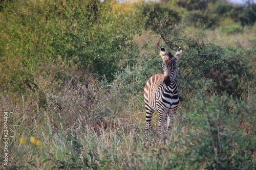 Tuinposter Zebra Little zebra grazes in the savanna of Tsavo National Park, Kenya