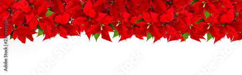 Obraz Poinsettia border Christmas red flower - fototapety do salonu