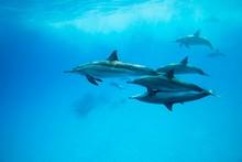 Spinner Dolphins (Stenella Longirostris) Swim Over Sandy Bottom, Red Sea, Sataya Reef, Marsa Alam, Egypt, Africa