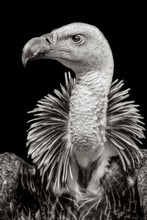 Ruppell's Griffon Vulture (Gyp...