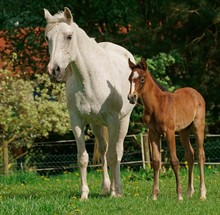 Mare With Foal, Hesse, Germany...