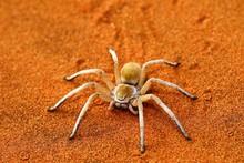 Wheel Spider, White Dancing Spider, Tok Tokkie Trail, Namib Rand Nature Reserve, Namib Naukluft Park, Namibia, Africa
