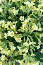 True Oxlip (Primula Elatior), ...