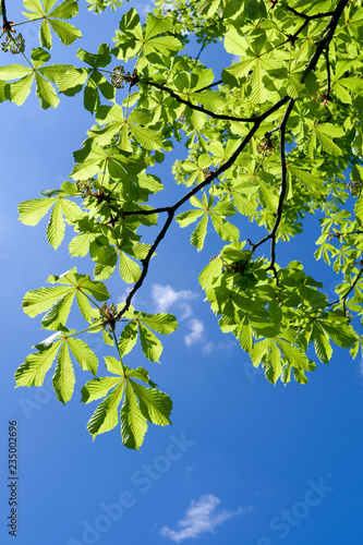 Plants: The leaves of a horse-chestnut tree at the Big Pond in Altenburg shine i Canvas Print