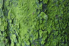 Natural Green Texture Of Dry Bark On A Tree